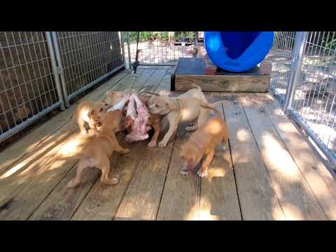 Abby The Staffordshire Bull Terrier Puppy to Adult - YouTube