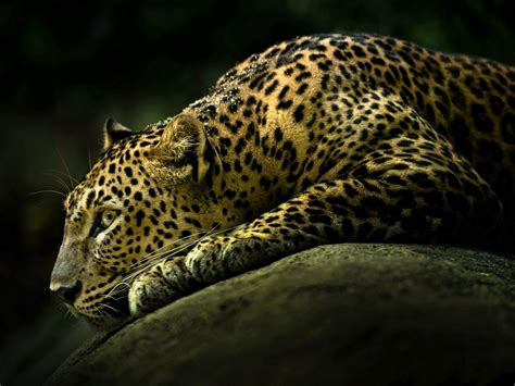 White Leopard Lying Rock Ready To Attack Wallpaer Hd