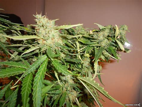 Royal ak, royal ak is simple to cultivate the plant