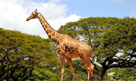 Giraffes are on the verge of going extinct